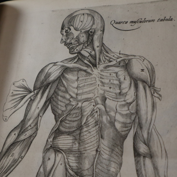 Detail from a diagram showing the muscles of the arm and torso