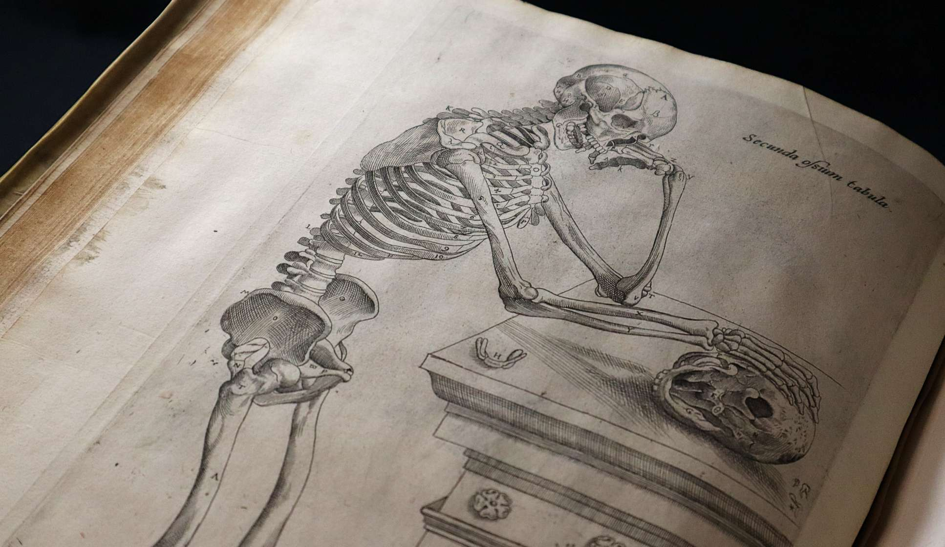 A diagram of a human skeleton, observing a skull on a podium